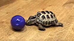 Nothing Better Than A (Relatively) Fast Tortoise Playing
