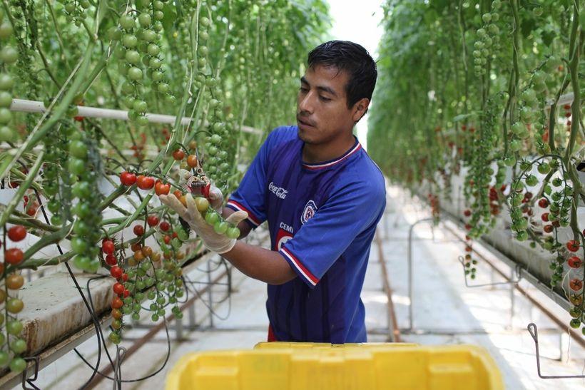 Gabriel Sanchez Atilano harvests Fair Trade Certified, organic cherry tomatoes.