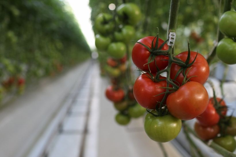 Tomatoes on the vine at Wholesum