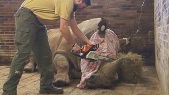 A rhino at a Czech zoo is seen having its horn removed after being sedated