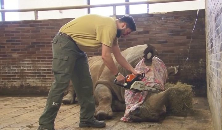 A rhino at a Czech zoo is seen having its horn removed after being sedated.