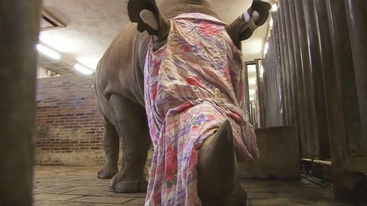 Pamir, a 10-year-old southern white rhino, is seen ahead of his horn's removal at a Czech zoo on Monday.