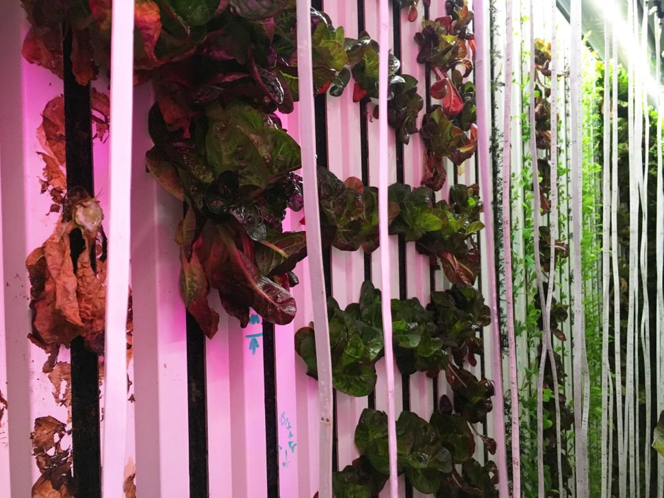 Lettuce and arugula grow on long, vertical trays in the glow of purple LED lights.