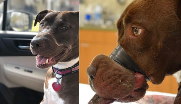 The then 15-month-old Staffordshire mix named Caitlyn underwent reconstructive surgery after her