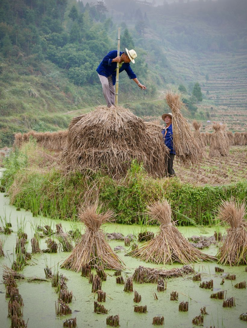 <strong>Gathering rice stalks for winter.</strong>