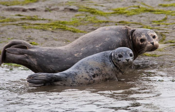 Mother and pup harbor seals in California. Close to 100 harbor seals typically gather annually to give birth at Hopkins Beach
