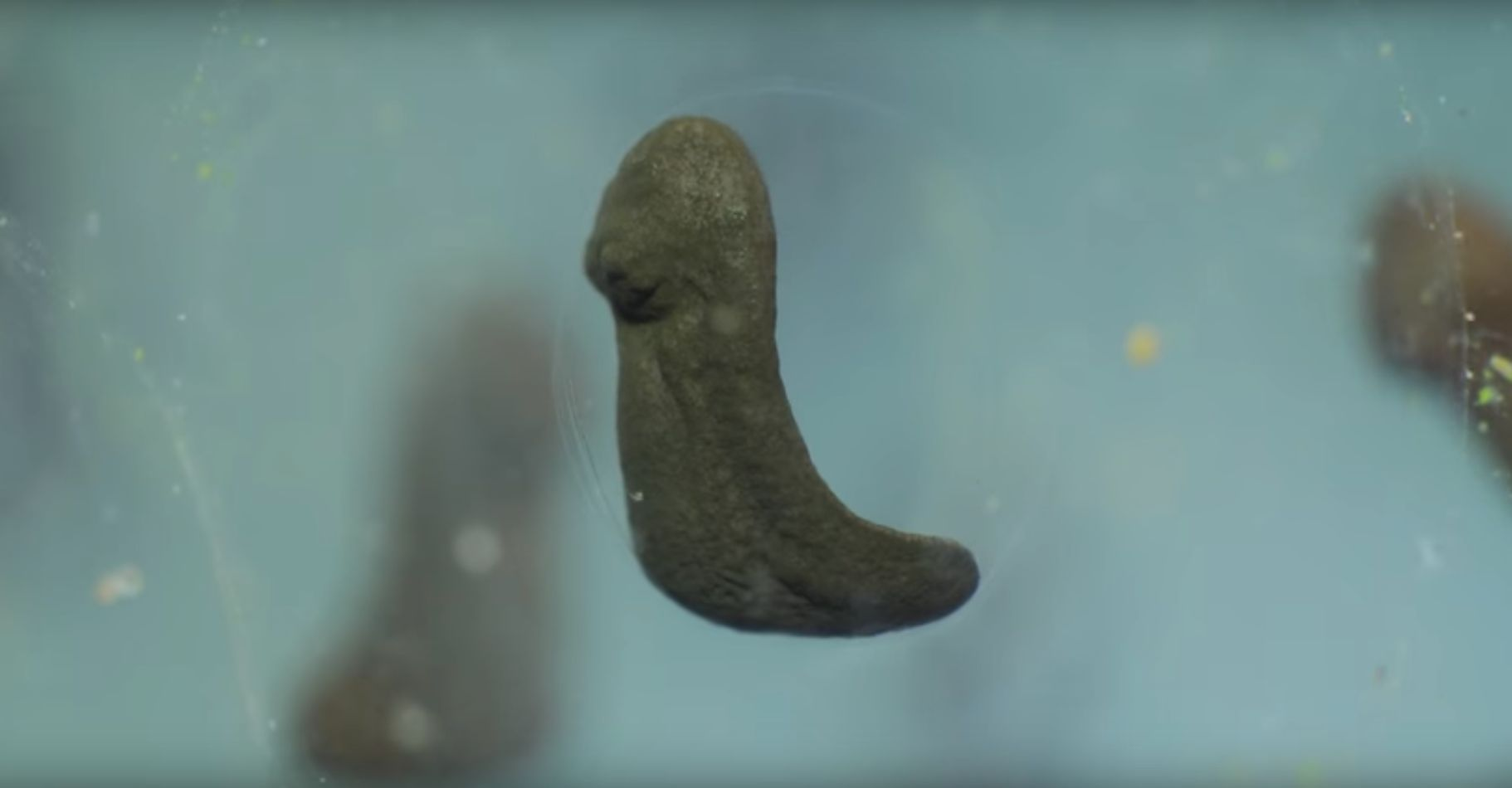 This Time-Lapse Video Shows Cells Dividing Into A Tadpole, Without Using