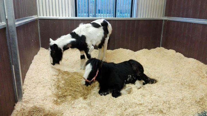 The foals have been making slow but steady recoveries at theCambridge Equine Hospital.