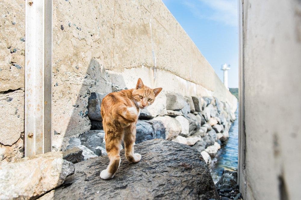 An orange cat on Ainoshima, one of several