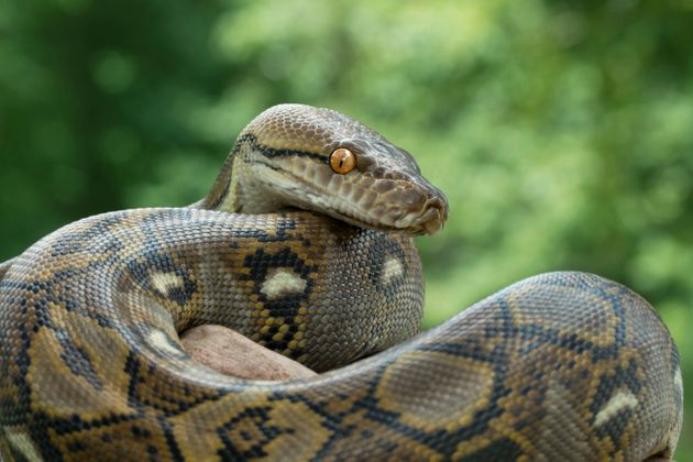 Pythons are not native to the U.S. though they have been found breeding in south