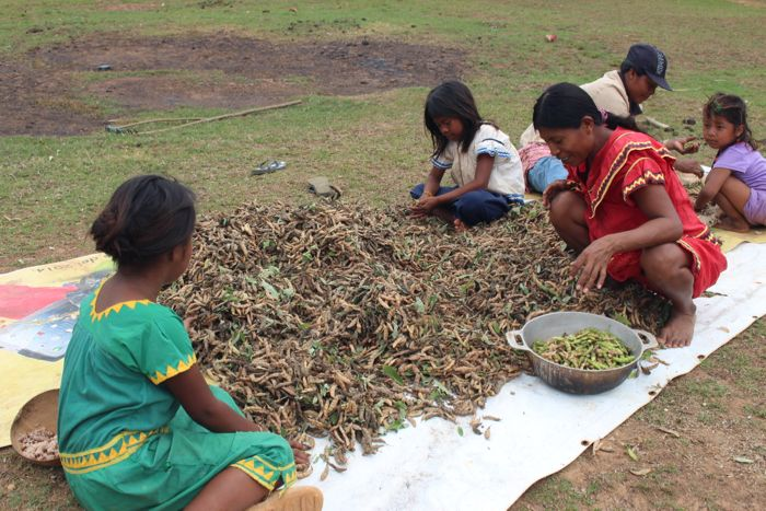 <em>Shelling the bean harvest is a family activity, a part of the daily life in the village. (Tracy L. Barnett)</em>