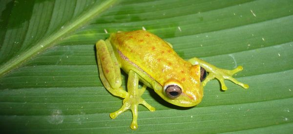 The World's First Glow-In-The-Dark Frog Found In Argentina
