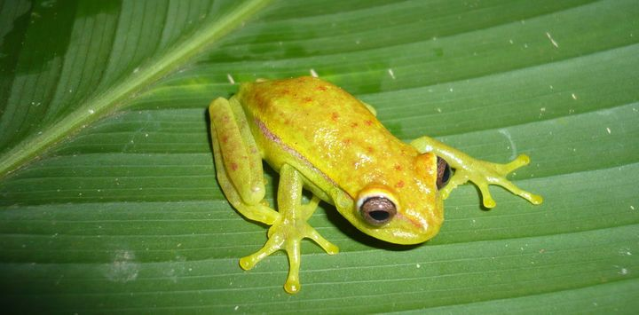 A male Hypsiboas punctatus frog in daylight.