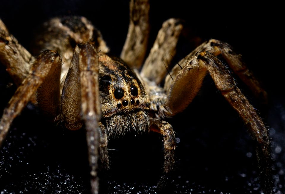 Macro image of a large wolf spider with eyes looking at camera.