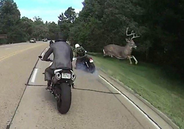 oh deer huge buck leaps over motorcyclist in heart stopping