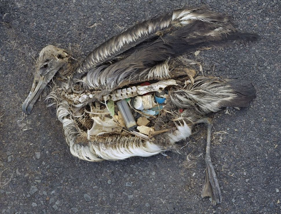 A dead albatross chick with plastic marine debris in its stomach. Photographed on Midway Atoll National Wildlife Refuge