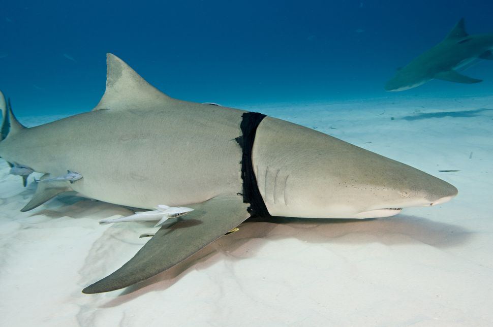 Lemon shark with plastic bag caught around its gills in the Bahamas.