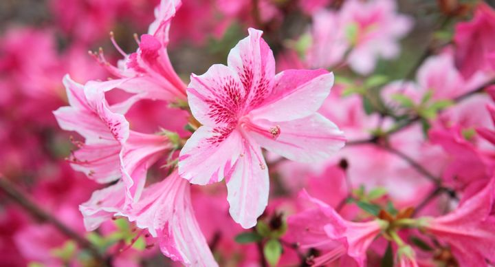 10 spring flower names beyond the classic lily and rose huffpost azalea mightylinksfo Images