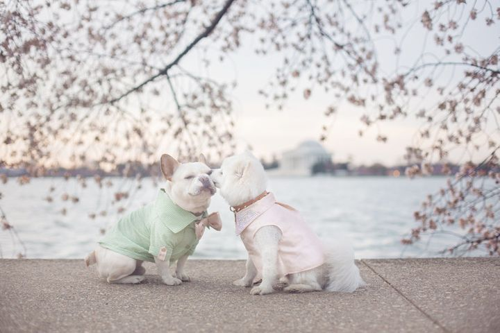 Kisses beneath the cherry blossoms of D.C.