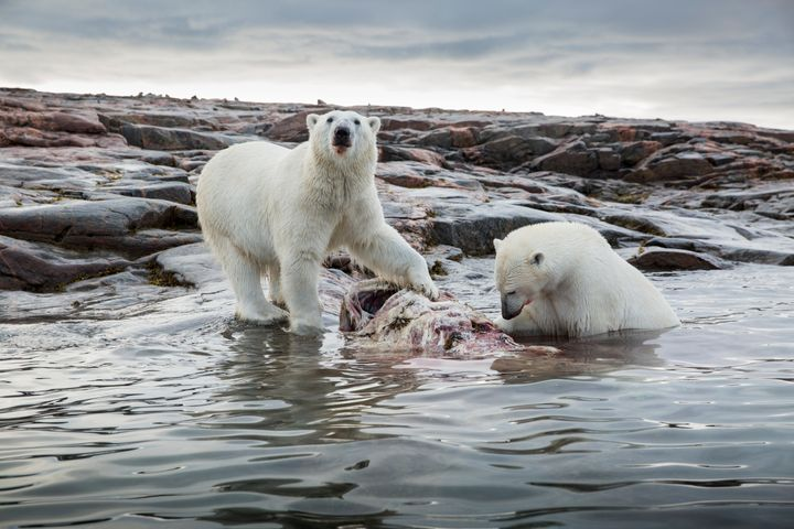 Two polar bears feed on decomposing Narwhal remains.