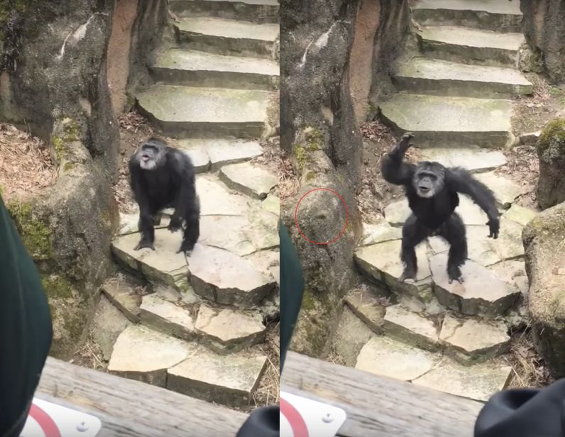 Bombs away A chimpanzee was filmed flinging poo at people visiting the John Ball Zoo in Grand Rapids Mich