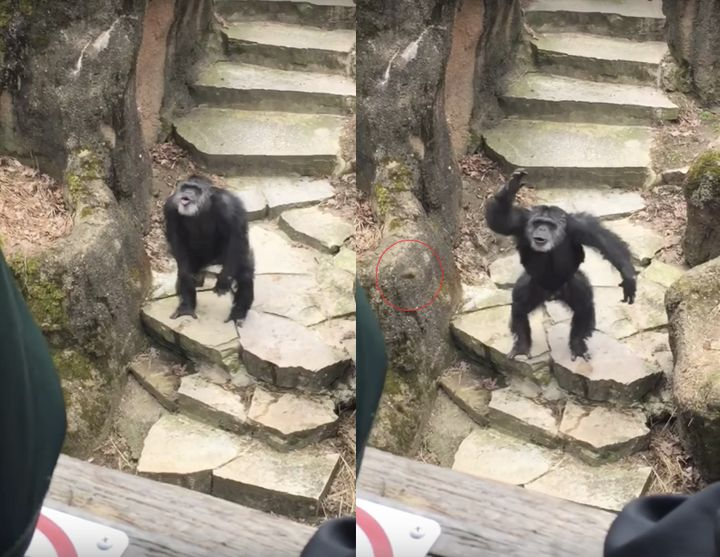 Bombs away! A chimpanzee was filmed nailing a grandmother in the face with feces at the John Ball Zoo in Grand Rapids, Michig