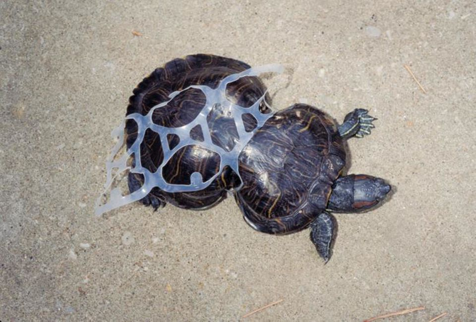 Turtle with plastic around its shell.