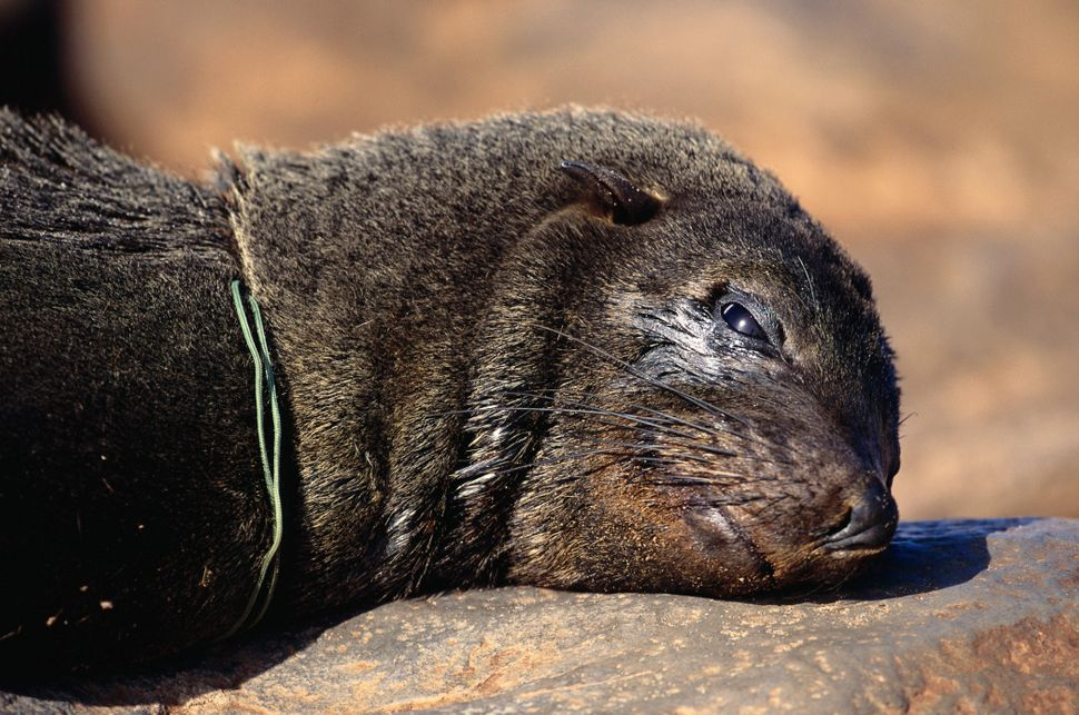 Cape fur seal that died of suffocation from plastic around its neck.