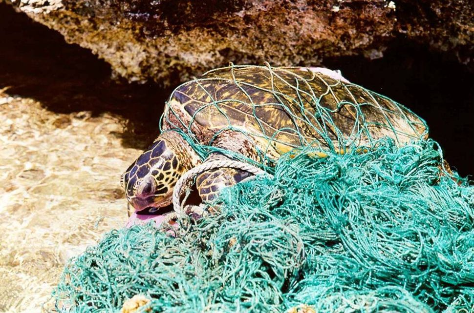Green sea turtle entangled in debris -- for air-breathing organisms, debris entanglement can prevent animals from being able