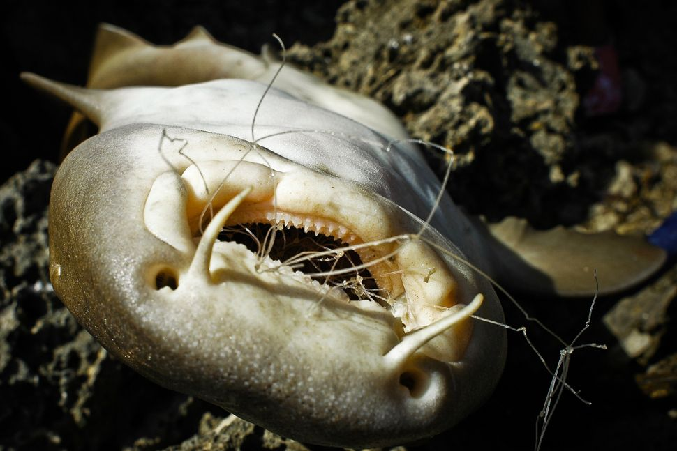 Shark with debris in its mouth.