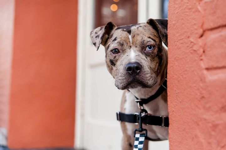 Eleanor, a Catahoula leopard dog mix up for adoption at Best Friends in NYC.