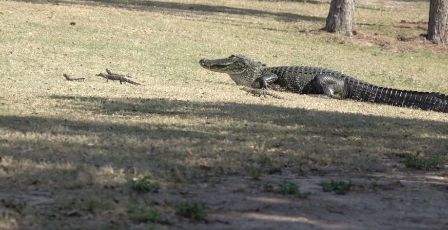 An alligator was seen shuffling her babies to another pond at a golf course in Florida
