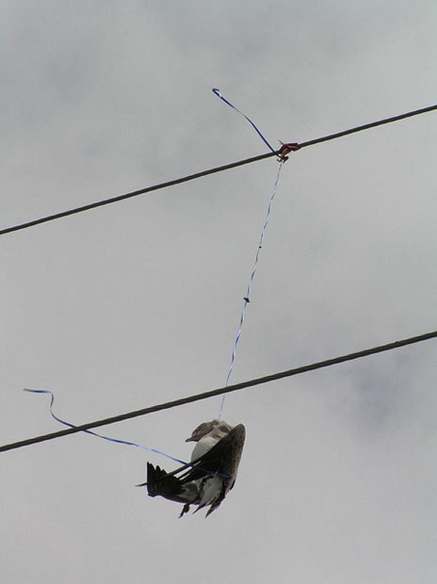 Bird appearing to be strangled by a balloon string.