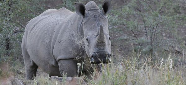 South Africa Lifts Ban On Rhino Horn Sales