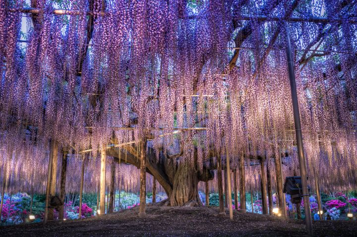 A wisteria tree lit up at dusk