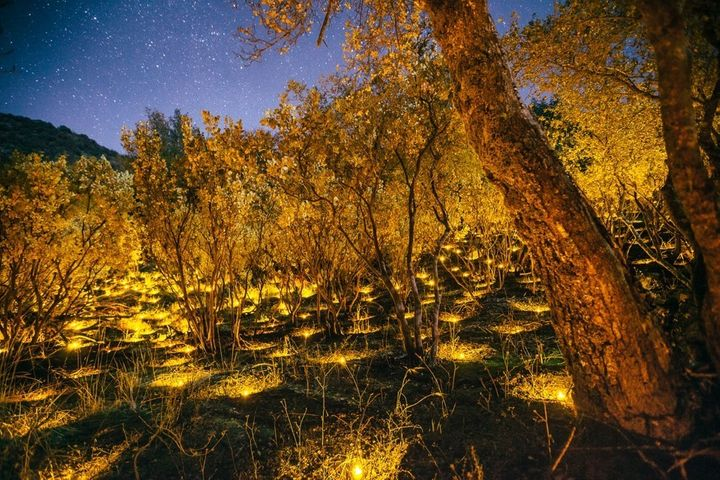 Electric tea lights illuminate the placement of plants in a marijuana farm in Sierra National Forest.