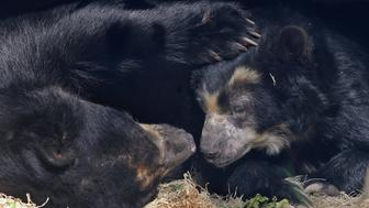 The female Andean bear (right) has benefitted from research done on old frozen samples that helped diagnose the living bears' allergies on Tuesday, Nov. 15, 2016, at the St. Louis Zoo. (J.B. Forbes/St. Louis Post-Dispatch/TNS via Getty Images)