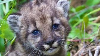 A new four-week-old mountain lion cub has made her debut in the Santa Monica Mountains