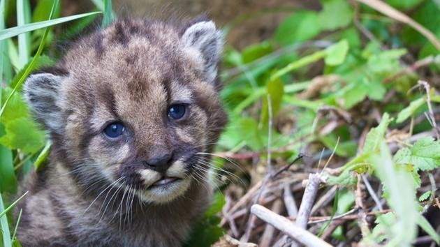A new four-week-old mountain lion kitten has made her debut in the Santa Monica Mountains.