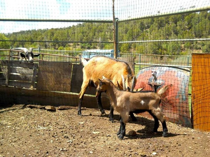 Tyler Hoyt raises dairy goats, as well as pigs and hens on his Green Table Farm in Mancos, Colorado. The animals pr