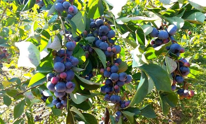 Blueberries growing at Walker Miller's Happy Berry in Six Mile, South Carolina.