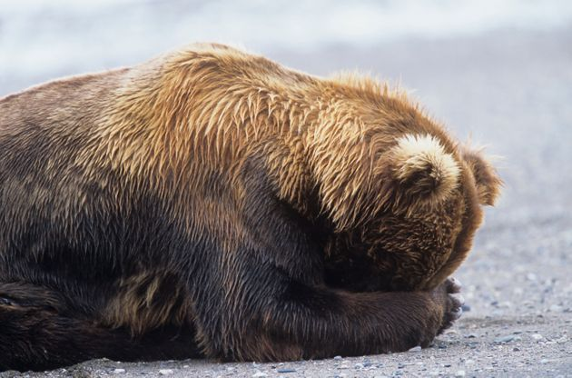 The law rollsback Alaska's ban on killing the vulnerable bears, along with wolf cubs in dens.It...