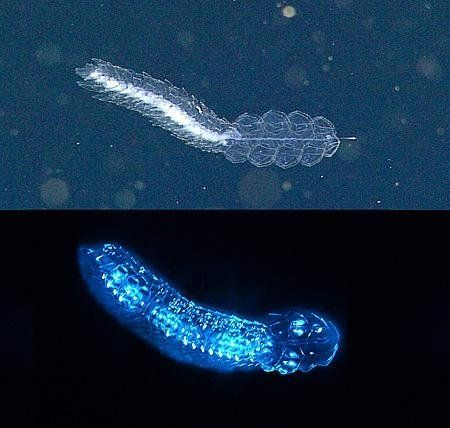 The siphonophore Frillagalma vityazi lit up by ROV lights (top) and emitting bioluminescence in the lab
