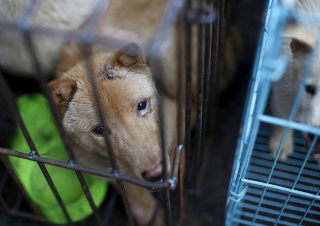 A dog which was purchased by animal right activists in order to rescue it from dog dealers in