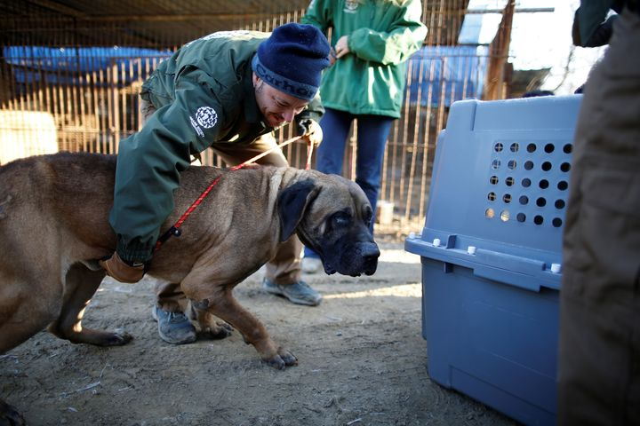 Rescue workers from Humane Society International rescue a dog at a dog meat farm in Wonju, South Korea, in January.