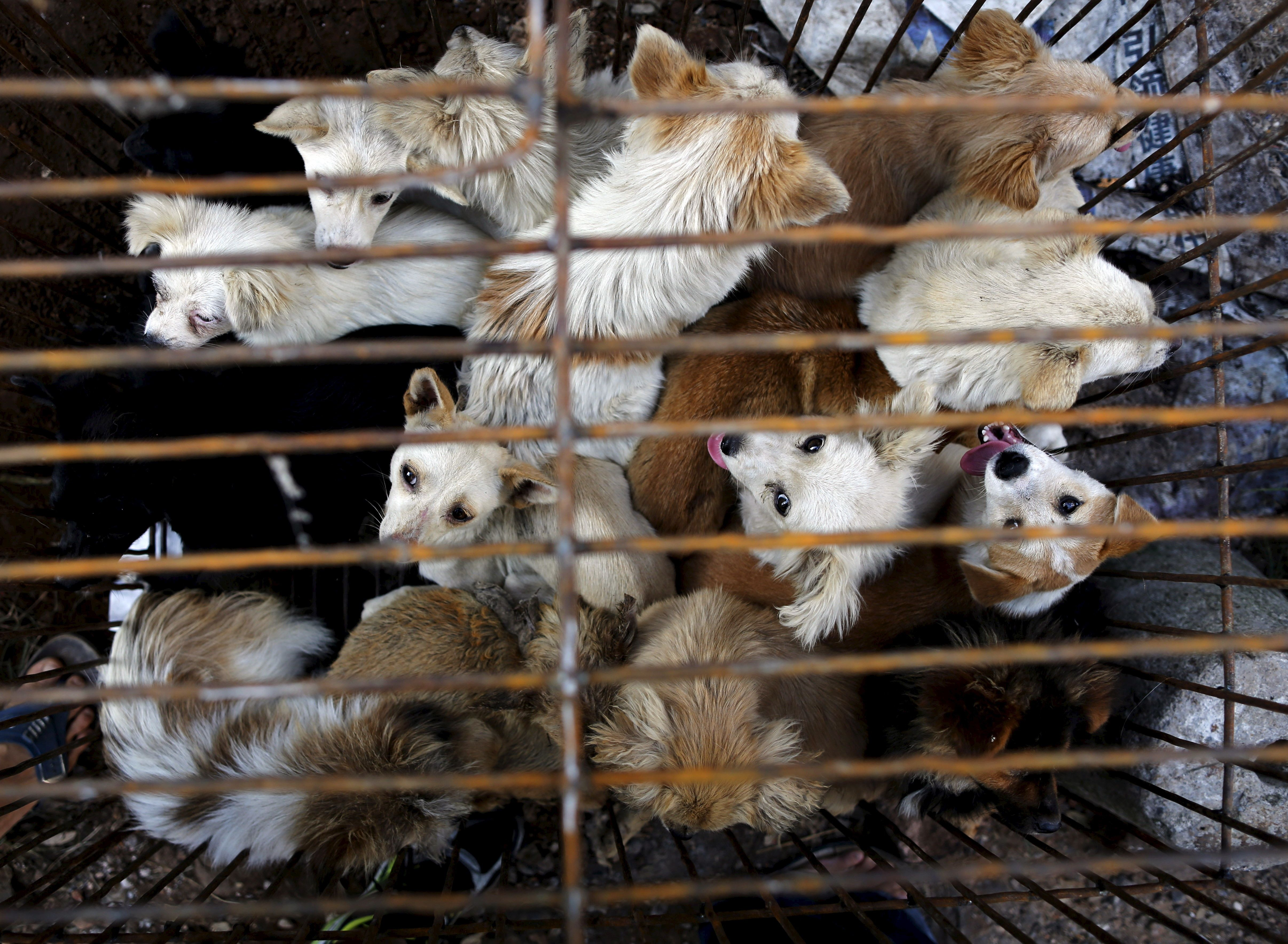 Dogs are kept in a cage at Dashichang dog market ahead of a local dog meat festival in Yulin, Guangxi Autonomous Region, June 21, 2015. In the market, some dogs are sold as pets, while others are sold for dog meat. Local residents in Yulin host small gatherings to consume dog meat and lychees in celebration of the summer solstice which marks the coming of the hottest days for the festival, which this year falls on Monday. REUTERS/Kim Kyung-Hoon