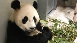 These Panda Diplomats Are Starting A New Life Halfway Around The