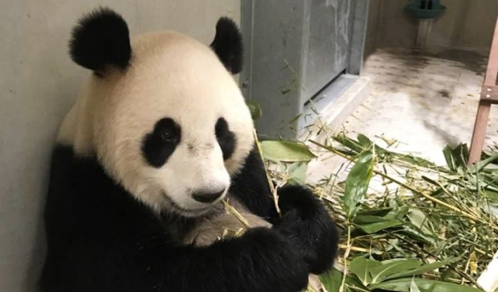 One of the two pandas in quarantine in the Netherlands.