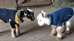 Wash Away All Your Sin By Watching Day-Old Goats Learn How To
