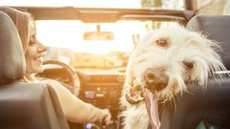 Woman and her labradoodle dog driving with the car. concept about animals